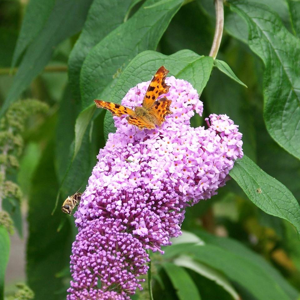 vlinderstruik geeft nectar