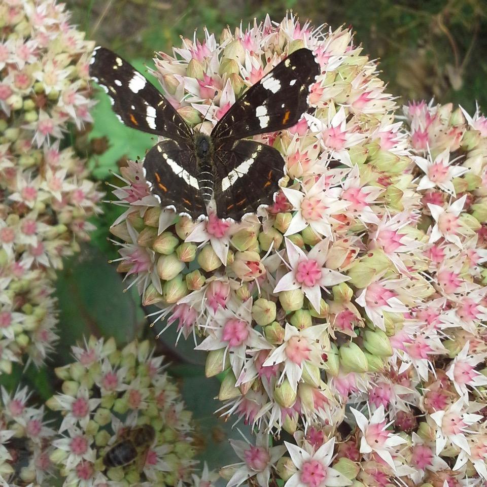 vlinder op sedum